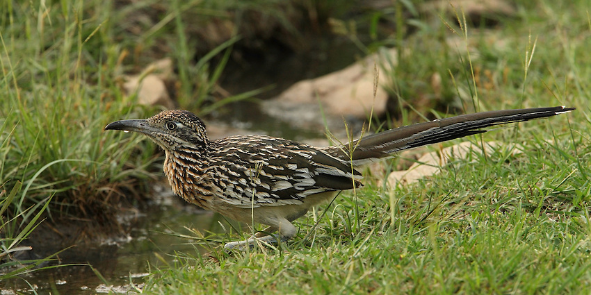 The Greater Roadrunner is a signature bird of the desert Southwest. During the 20th century, its range expanded all the way to southern Missouri and western Louisiana. A ground-dwelling cuckoo, it feeds on snakes, scorpions, and any other small animal it can catch and subdue.