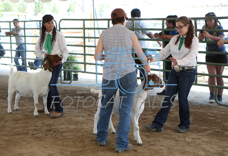 Judge Celina Phillips talks with Savannah Morrison, of Spanish Springs, during livestock competition at the NV150 Fair at Fuji Park, in Carson City, Nev., on Friday, Aug. 1, 2014. Leticia Orozco, of Fallon, is at left.<br /> Photo by Cathleen Allison
