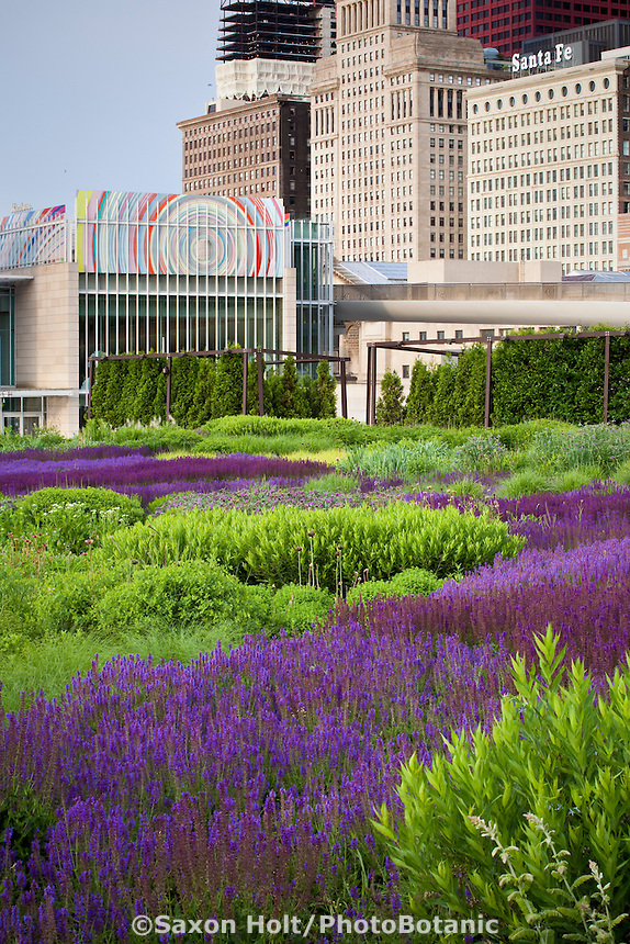 Rooftop garden over parking garage with iver of Meadow Sage, Salvia x sylvestris 'Blue Hill', 'Wesuwe', 'May Night' and 'Rugen' flowering perennials in Lurie Garden Millenium Park, Chicago with spiderwort, blue star and grasses