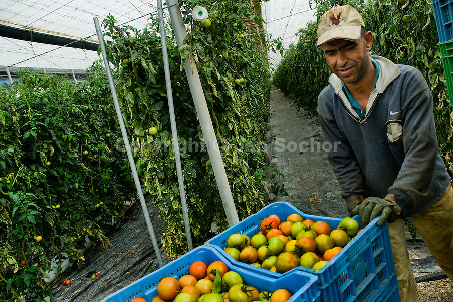 A Moroccan immigrant worker pushes a hand cart full of green tomatoes in the greenhouse in El Ejido, Spain, 22 May 2007. El Ejido, a dry region on the coast of Andalusia, has changed during the last decades into the centre of vegetable production not only for the Spanish market. A half of Europe is supplied by tomatoes, peppers and melons from El Ejido. This economic miracle is from a major part based on a cheap labor force of illegal immigrants from Maghreb and Subsaharian Africa. Tens of thousands of workers keep the plastic sea of greenhouses running for the minimum wage of 30 Euros a day.