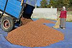 TURKEY, Cumayeri near Duzce, hazelnut farming and harvest, drying of hazelnut in sun / TUERKEI, Cumayeri, Anbau und Ernte von Haselnuessen, Trocknen von Haselnuessen, Haselnuesse sind ein wichtiger Rohstoff fuer Schokocreme wie Nutella oder die Schokoladenindustrie