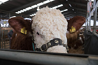 Stirling Bull Sales 2018<br /> A Simmental Bull waits to be sold at the Stirling Bull Sales<br /> &copy;Tim Scrivener Photographer 07850 303986<br /> ....Covering Agriculture In The UK....