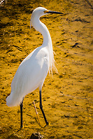 A Snowy egret exhibits the S shape profile of head and neck as well as black legs and barely visible yellow feet while standing in the shallows of a pond at a neighborhood park on a summer afternoon.