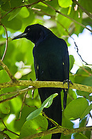 Boat-tailed grackle, Lakeland, Florida