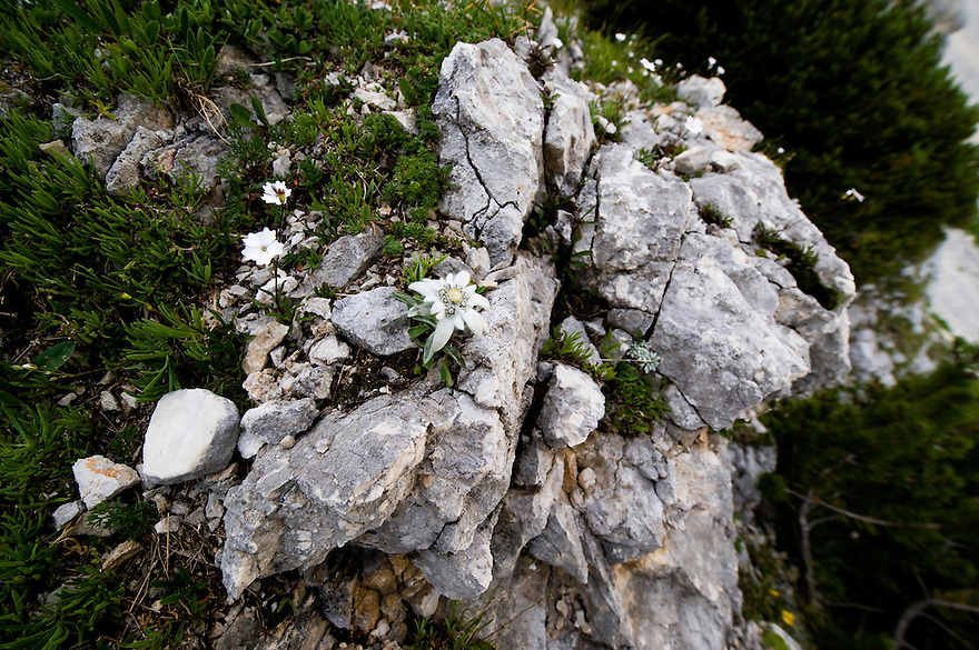 Edelweiss (Leontopodium alpinum) on a rock<br /> Triglav National Park, Slovenia<br /> July 2009
