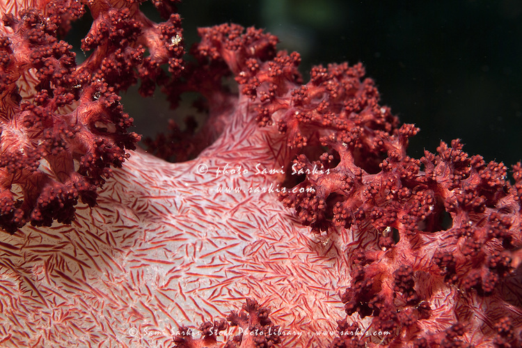 Red spiky soft coral (Dendronephthya), Bocifushi Wreck, South Male Atoll, Maldives.