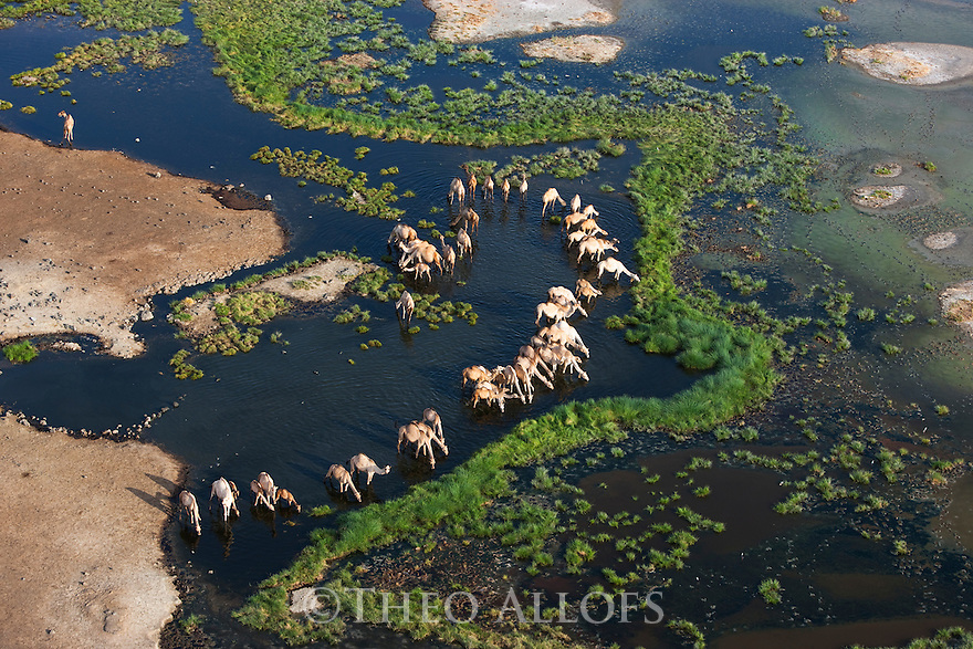 Kenya, Rift Valley, camels gathering to drink at oasis in flooded Chalbi Desert