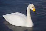Hokkaido, Japan<br /> Single Whooper Swan (Cygnus cygnus) on an open section of frozen Lake Kussharo, Akan National Park
