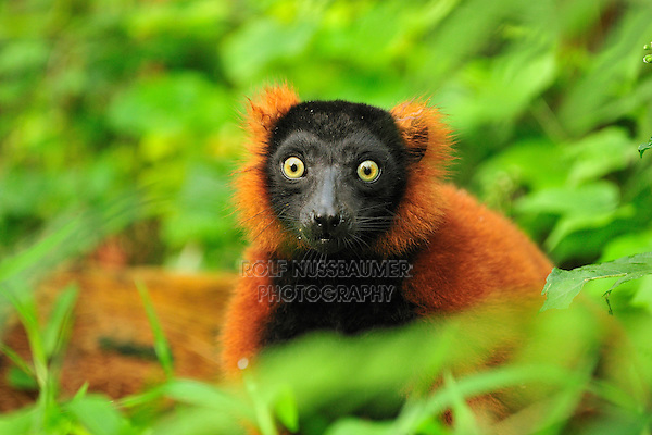 .Red Ruffed Lemur (Varecia rubra), adult, Masoala National Park, Madagascar