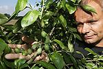 Foto: VidiPhoto<br /> <br /> WIJCHEN &ndash; Frederik Bunt, de grootste pruimenteler van ons land, toont woensdag de enorme schade die het noodweer in zijn boomgaard in Wijchen bij Nijmegen heeft aangericht. Zo&rsquo;n 80 procent van de jonge pruimen in de boomgaard is verwoest door hagelkorrels zo groot als duiveneieren. Zijn percelen in Heteren en Slijk-Ewijk hebben geen schade opgelopen. Omdat de teler niet verzekerd is en geen hagelnetten heeft, heeft hij zijn percelen over een grote regio verspreid. De risicospreiding is een alternatief voor het plaatsen van hagelnetten over zijn 50 ha. aan pruimenboomgaarden. Behalve dat het een enorme investering is, kost het ook mankracht en tijd om daarvoor een vergunning te krijgen. Het groeizame, warme en vochtige weer betekent voor veel fruittelers dit jaar een groot risico op hagel- en wateroverlast.