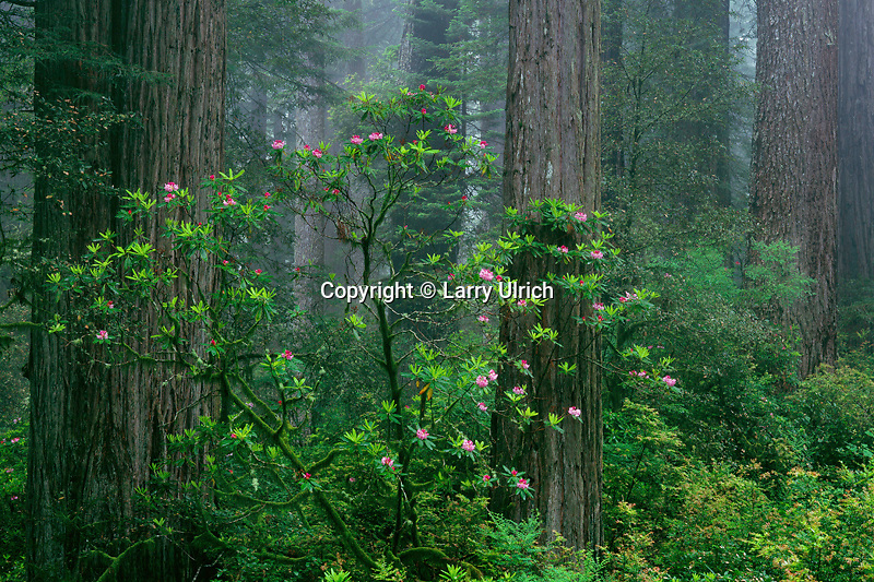 Western rhododendron and coast redwoods<br /> Highway 101<br /> Del Norte Coast Redwoods State Park<br /> Del Norte County,  California
