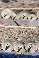 France, Gironde (33),Bassin d'Arcachon, l' île aux oiseaux  Parc à huîtres, collecteurs d'huîtres //  France, Gironde, Bassin d'Arcachon, l' île aux oiseaux ( birds Island)  -  Bed Oysters