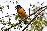 Black-headed Grosbeak, Port Angeles, Washington.