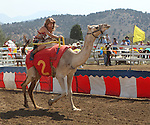 Jamie Clark rides in a race at the International Camel Races in Virginia City, Nev., on Friday, Sept. 9, 2011. .Photo by Cathleen Allison