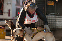 A musher harnesses her dogs during the Alaskan Sled Dog & Racing Association Exxon Mobile Open in Anchorage, Alaska.