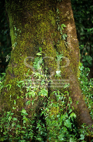 Amazon, Brazil. Green moss and seedlings growing up the base of a forest tree.