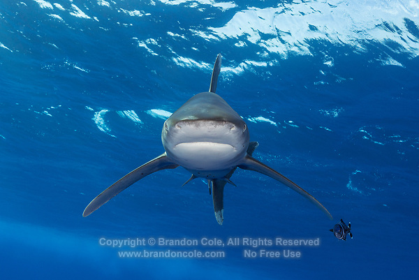 TG0758-D. Oceanic Whitetip Shark (Carcharhinus longimanus), grows to at least 11 feet long, usually seen in offshore waters deeper than 200 meters, feeds on wide array of bony fishes, cephalopods, mammals, even birds. Considered a dangerous species, has been responsible for attacks on humans lost at sea. Note the Pilotfish (Naucrates ductor) near the pectoral fin. Egypt, Red Sea.<br /> Photo Copyright &copy; Brandon Cole. All rights reserved worldwide.  www.brandoncole.com