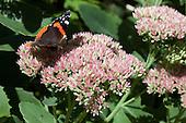 Atalanta vlinder op hemelsleutel - Red Admiral butterfly on Stonecrop