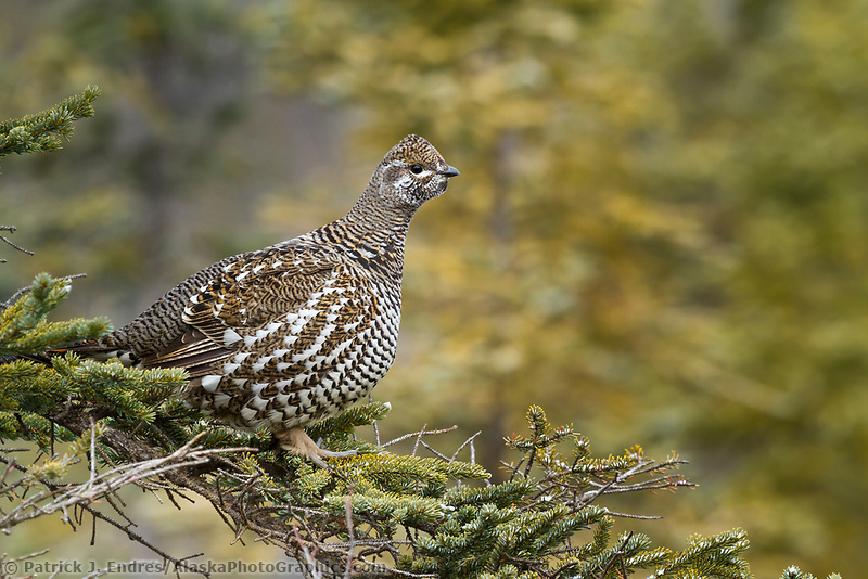Spruce grouse perches in the bow of a spruce tree, arctic, Alaska.