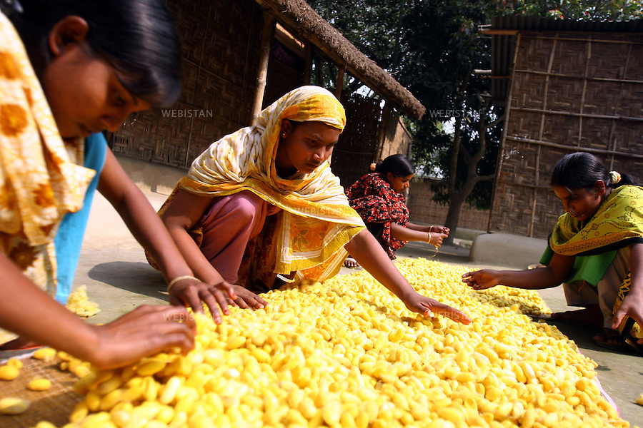 Bangladesh. The bright yellow cocoons are laid out by women on the front yard, to dry before being taken to the charka for conversion into thread.Bangladesh. Les cocons jaunes vif sont étalés par des femmes dans la cour pour sécher avant d'être mis dans le charka pour la convertion en fil.