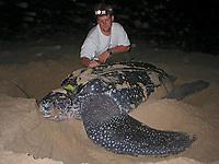 researcher with nesting leatherback sea turtle, Dermochelys coriacea, Dominica, Caribbean, Atlantic