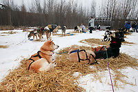 Dog teams rest at the first checkpoint along the 2003 Iditarod trail in the village of Nenana.