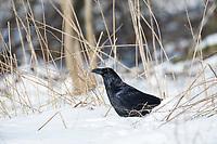 Kolkrabe, Kolk-Rabe, Kolk, Rabe, im Winter bei Schnee, Corvus corax, common raven, northern raven, raven, snow, Le Grand Corbeau