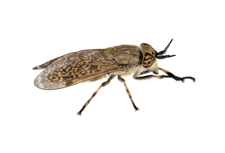 Cleg-fly - Haematopota pluvialis