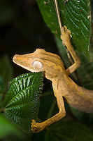 lined leaf-tailed gecko in green plant
