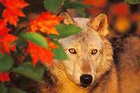 Gray Wolf or Timber Wolf Canis lupus)