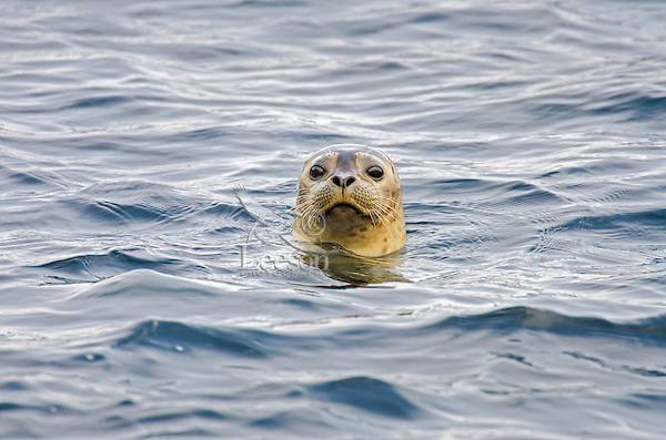 Harbor seal (Phoca vitulina).  Along California Coast.