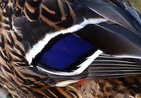 Closeup of speculum on the wing of a mallard hen