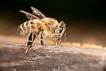 Worker Honey Bee, Apis mellifera, Kent UK, on side of hive, showing full body, legs, wings, head, eye, antennae