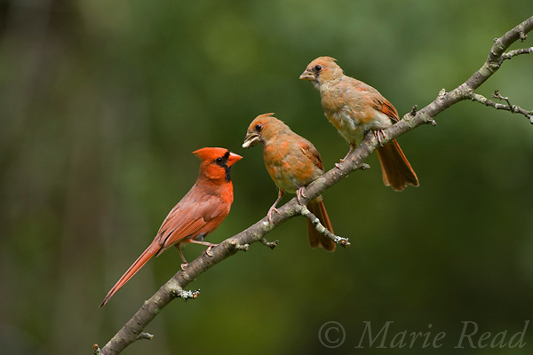 Northern Cardinal (Cardinalis cardinalis) male just fed fledgling, while another looks on, New York, USA