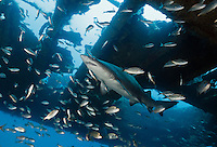 TP0227-Dr. Sand Tiger Shark (Carcharias taurus) swimming inside shipwreck. This species is ovoviviparous (also called aplacental viviparity), which means that after fertilization of the eggs, the young sharks develop inside the mother while encapsulated in their shells, nourished by attached egg yolks. Later, when the eggs hatch, two pups are expelled from the uterus as miniature near replicas of the adult, ready to live life on their own. North Carolina, USA, Atlantic Ocean.<br /> Photo Copyright &copy; Brandon Cole. All rights reserved worldwide.  www.brandoncole.com