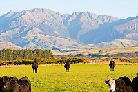 Cows in Fiordland with Mountains in the background, South Island, New Zealand. The drive back from Milford Sound today was without doubt the most stunning drive so far, presenting endless photographic opportunities. Ironically, it is the first time on the whole trip I've manage to fill up the 34GB of cards I have with me. Gutting! Just about enjoyable nonetheless! These cows with the mountains in the background was one of the 6 photos I managed to take before I ran out of space!