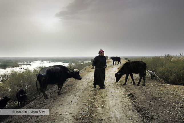KURMASHIA MARSH, Iraq - An Iraqi marsh Arab releases his livestock at dawn to graze in the Kurmashia marsh in southern Iraq, Feb. 18, 2004.