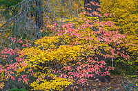 Rogue River National Forest, Oregon<br /> Fall colors on vine maples and dogwood in the forest understory