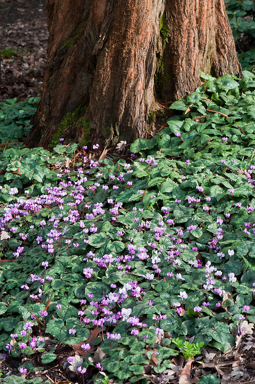 Self-seeded carpet of Cyclamen coum, late February.