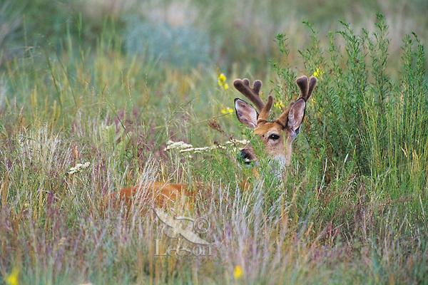 White-tailed Deer buck among prairie wildflowers.  Western U.S., summer.