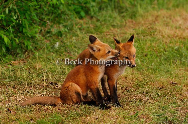 Red fox pups fighting