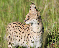 "Start of a ""4-cat"" day (Lion, Leopard, Serval and Cheetah) - Serval (Felis (Leptailurus) serval) hunting on the Masai Mara"