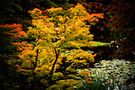 A golden maple shows off its colors at the edge of a pond in Van Dusen Botanical Garden.