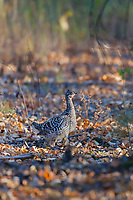 Sharp-tailed grouse forages in the boreal forest floor, Fairbanks, Alaska.