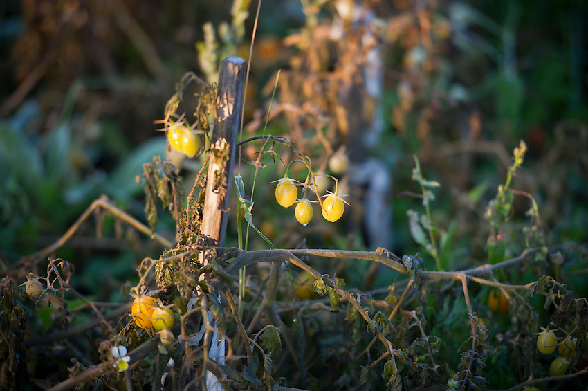 Frost killed tomatoes in a fall garden.