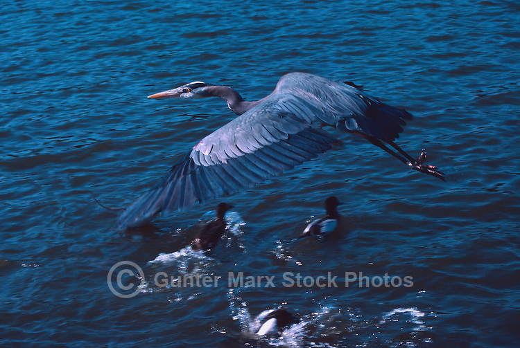 Great Blue Heron (Ardea herodias) flying over Ducks swimming in Lake
