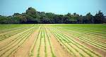 Lines of young carrot plants growing in sandy field, Shottisham, Suffolk, England