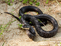 Black Rat Snake curled up on sandy ground