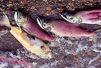 Annual Adams River Sockeye Salmon Run (Oncorhynchus nerka), Roderick Haig-Brown Provincial Park near Salmon Arm, BC, British Columbia, Canada - Dead Fish rotting along Shore