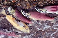 Annual Adams River Sockeye Salmon Run (Oncorhynchus nerka), Roderick Haig-Brown Provincial Park near Salmon Arm, BC, British Columbia, Canada - Dead Fish rotting along Shore